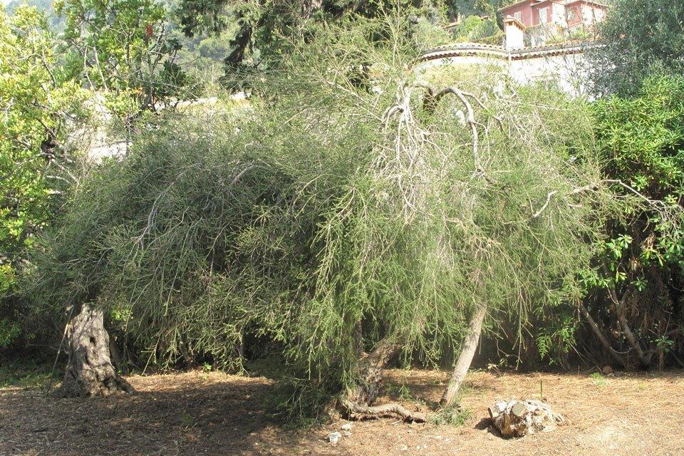 Ein Australischer Teebaum (Bild: wikipedia.org)